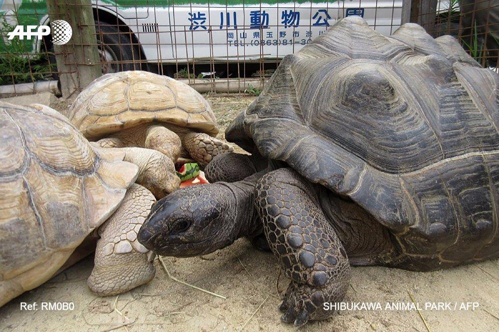 Japon: une tortue géante retrouvée à 140m du zoo après une escapade de deux semaines https://t.co/Pd1UFpI9NP #AFP