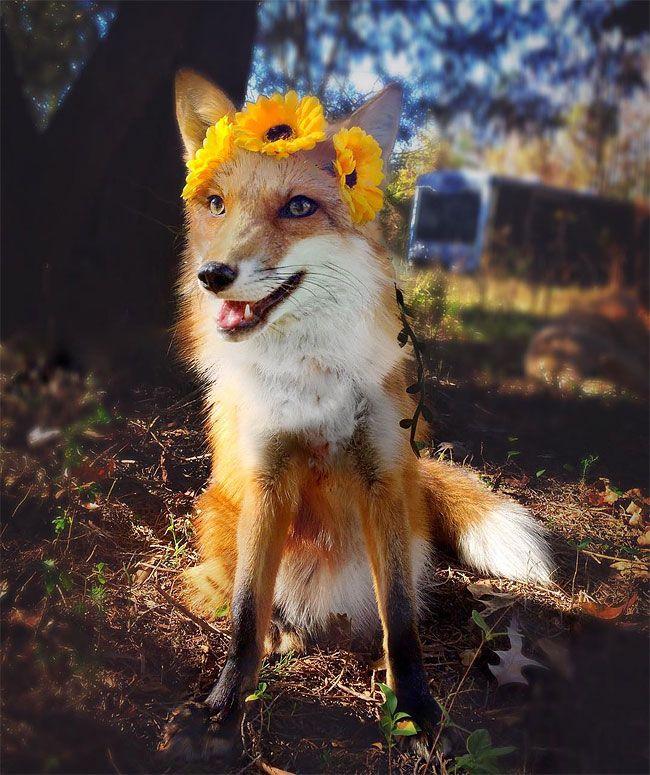 Смешные картинки лисичка, самая