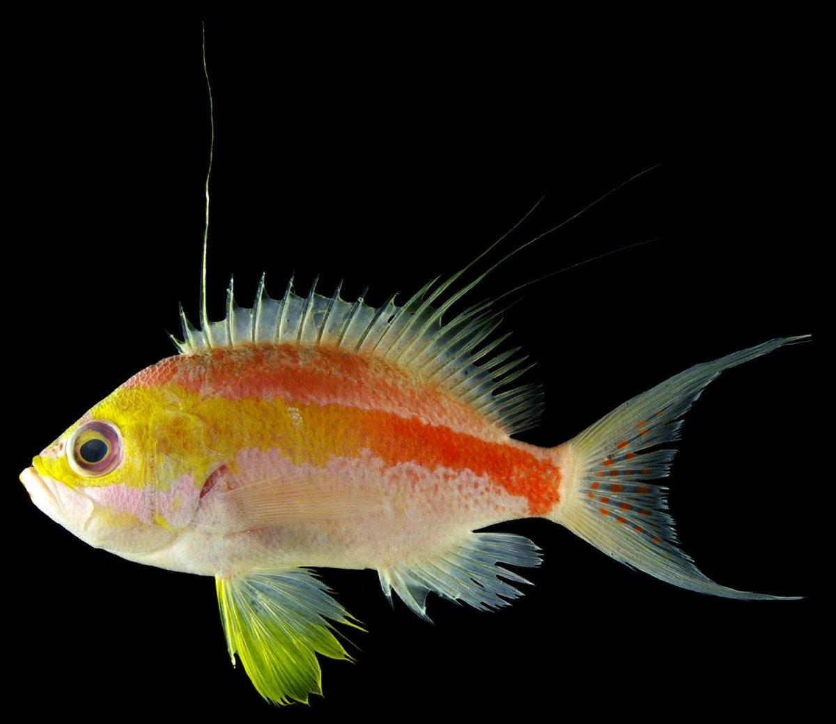 Luiz rocha on twitter stunning new species of fish discovered in luiz rocha on twitter stunning new species of fish discovered in mesophotic twilight zone andaman sea reefs httpstj3n6abxvna sciox Images