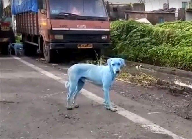 Dramático caso de perros azules impacta en India https://t.co/8QjWFNlD...