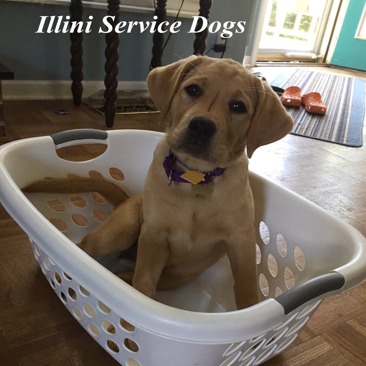 One day, Alma will be able to help out with the laundry. But for now, she&#39;s just going to sit back and watch! #illiniservicedogs #alma <br>http://pic.twitter.com/b1oNlbvLQx