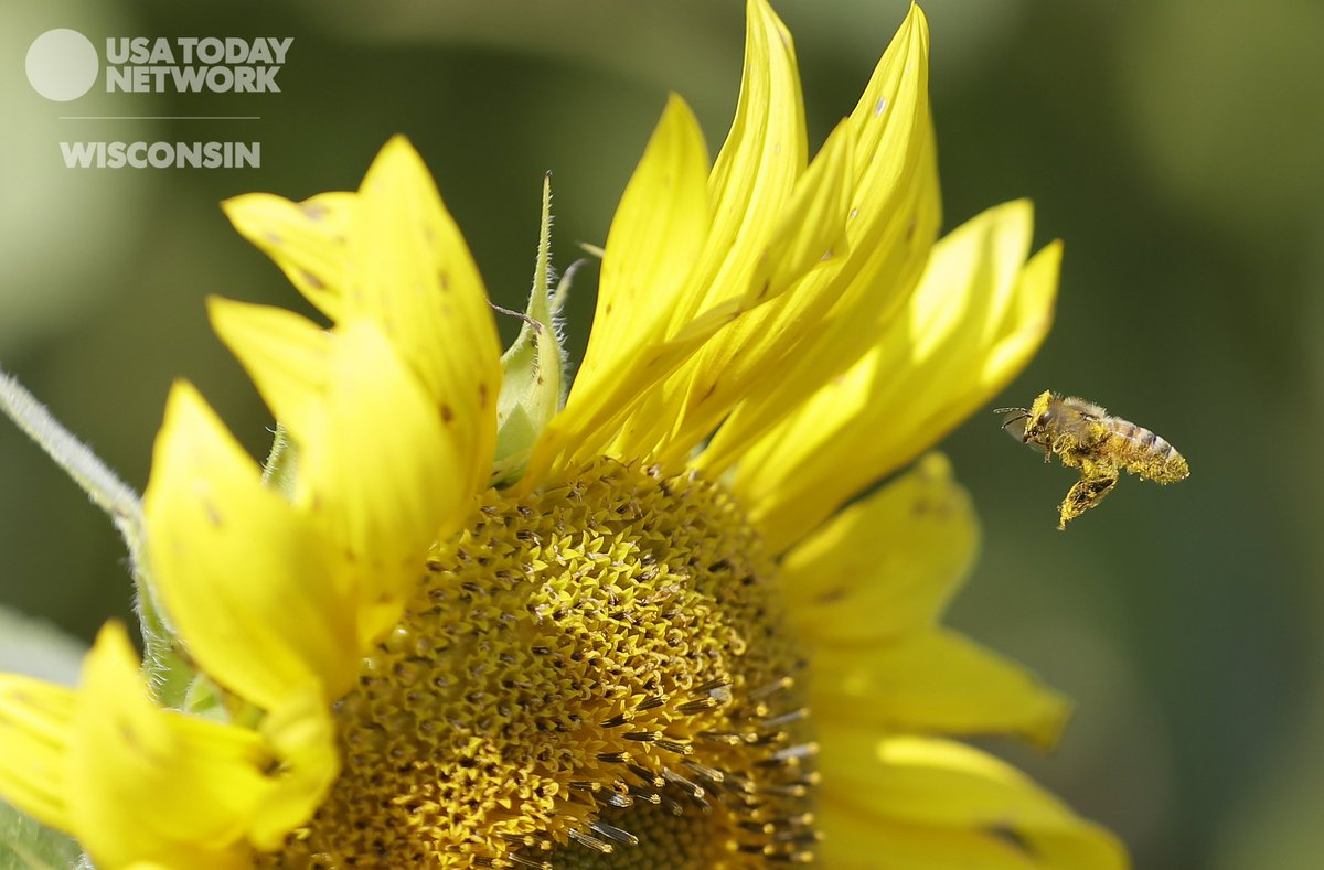 Looking for the buzz of the day? Here it is! A #bee and a #sunflower <br>http://pic.twitter.com/2y1LZYo3aB