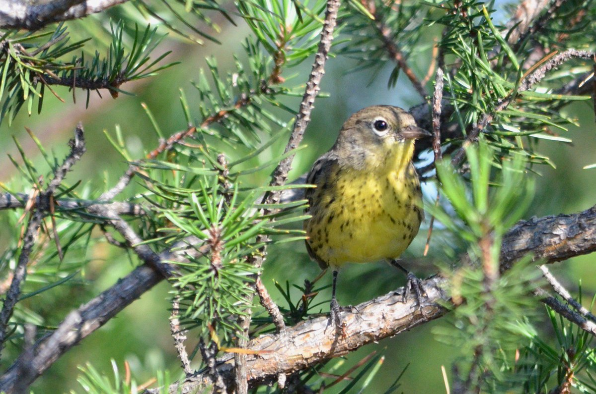 little late, but great field trip w #AOSSCO17 &amp; saw the #endangered Kirtland Warbler. Amazing meeting this year, and bonus 27 #lifer #birds<br>http://pic.twitter.com/I86FyqdnPH