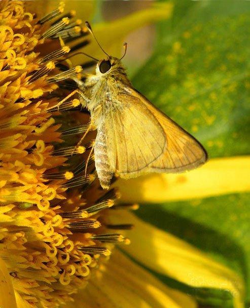 For Sale Artwork &quot; https:// pixels.com/featured/skipp er-and-sunflower-sandi-oreilly.html &nbsp; …  A close up of a Skipper butterfly on sunflower #sunflower #skipperbutterfly #butterfly<br>http://pic.twitter.com/ockL5LrL0m