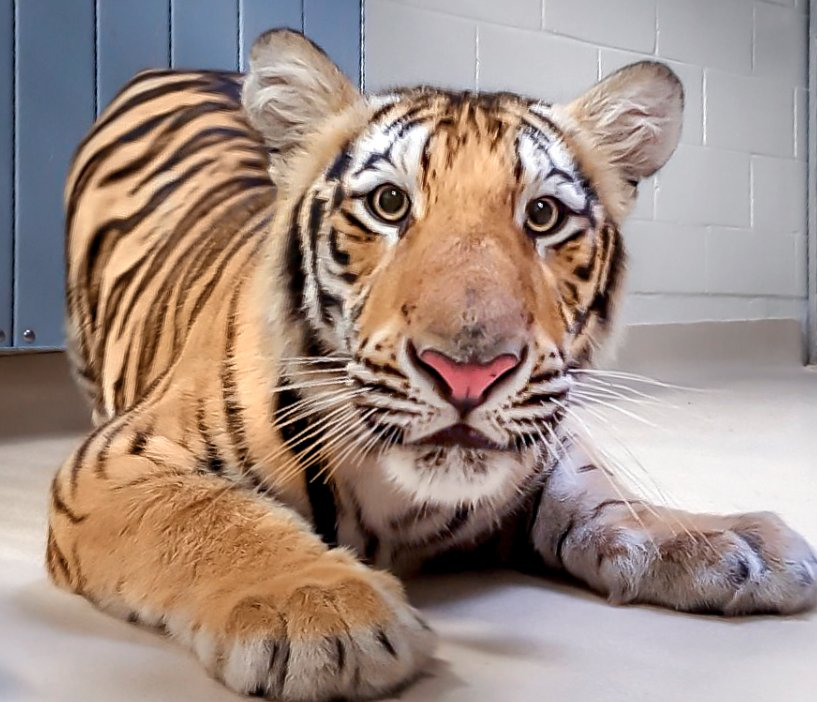 Say hello to Harvey — Possibly the next tiger mascot of LSU (#MikeVII)...