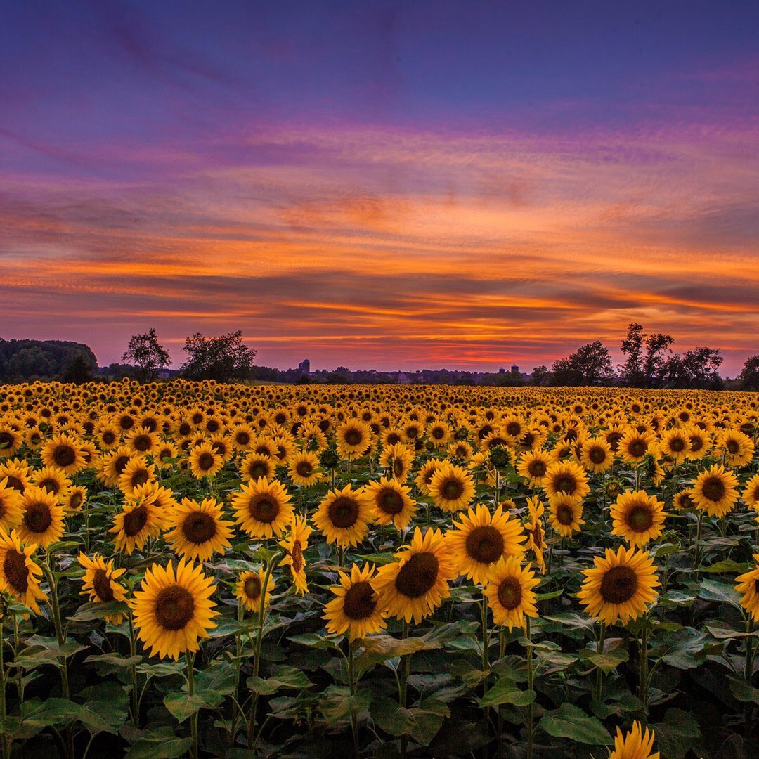 Sunflower #sunset in Hillsborough, New Jersey | Photography by Anthony Quintano <br>http://pic.twitter.com/CVmnTIm1Qy rt @earth_captured  #sunflowers