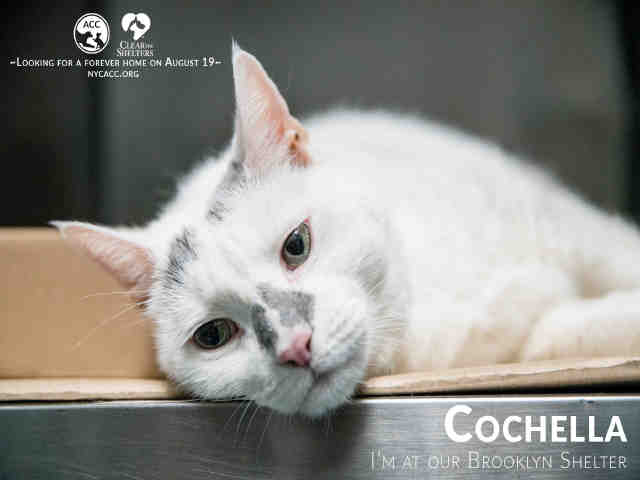 RT@ngremmy #NYC #cats gorgeously marked sweetie COCHELLA needs our help by 8/17 NOON! Please RT/adopt/foster/pledge!  http:// nyccats.urgentpodr.org/cochella-a1121 373/ &nbsp; … <br>http://pic.twitter.com/CbUk1ArXeC