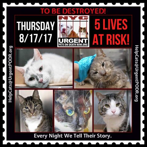 5 great #NYC #cats   http:// nyccats.urgentpodr.org/gohan-a1121020/  &nbsp;    http:// nyccats.urgentpodr.org/cochella-a1121 373/ &nbsp; …   http:// nyccats.urgentpodr.org/sammy-a1121554/  &nbsp;    http:// nyccats.urgentpodr.org/legend-a112178 8/ &nbsp; …   http:// nyccats.urgentpodr.org/chrissy-a11219 53/ &nbsp; … <br>http://pic.twitter.com/HSqSf3RP1m