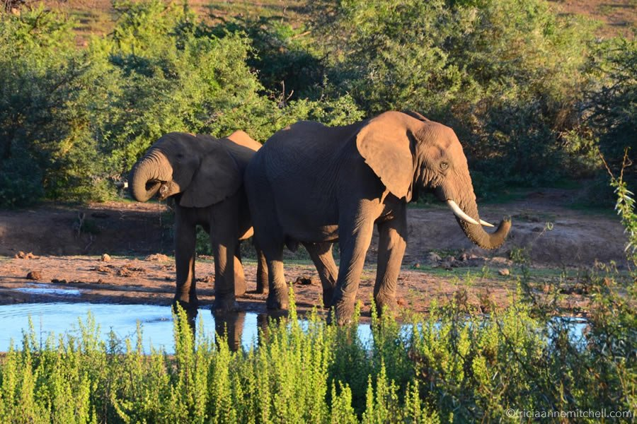 The unmissable attraction of a Sunset #Safari in #SouthAfrica 's Addo Elephant National Park  http:// bit.ly/2vwS8gx  &nbsp;    #travel <br>http://pic.twitter.com/bjXHxARJC7