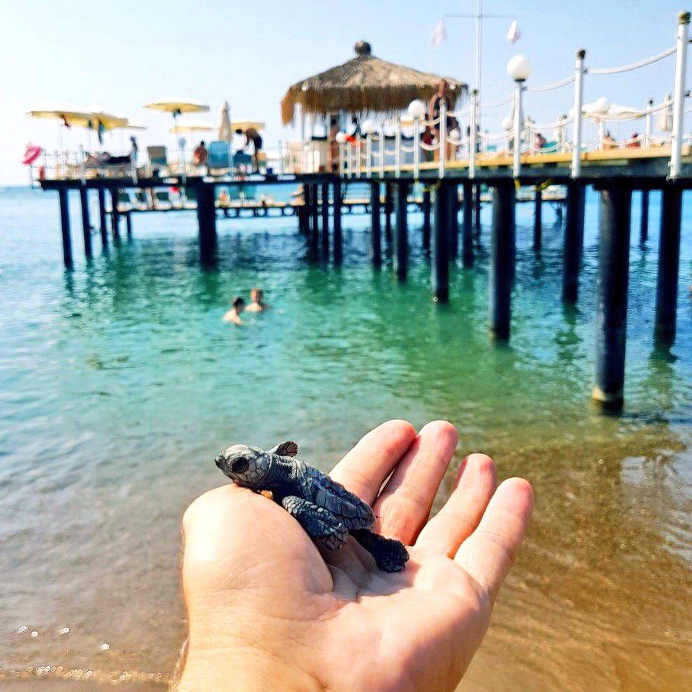 Cute little baby sea turtle on beach. #larafamilyclub #carettacaretta #littleturtle #happy #cute #love #antalya #mediterranean<br>http://pic.twitter.com/XTM9OUv5UQ