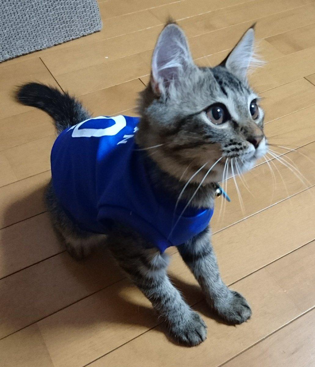 test ツイッターメディア - からのバロンたん。  #ねこ #こねこ #保護猫 #サッカーユニフォーム #100均 #DAISO https://t.co/1d6rVd7f4G