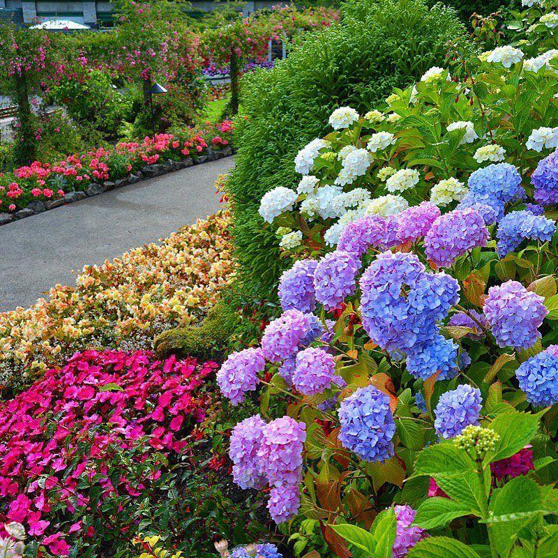 #LoveFlowers Garden: Lots of #hydrangea to enjoy #summer - visit the gardens  @butchartgardens<br>http://pic.twitter.com/72LPnqtIVE