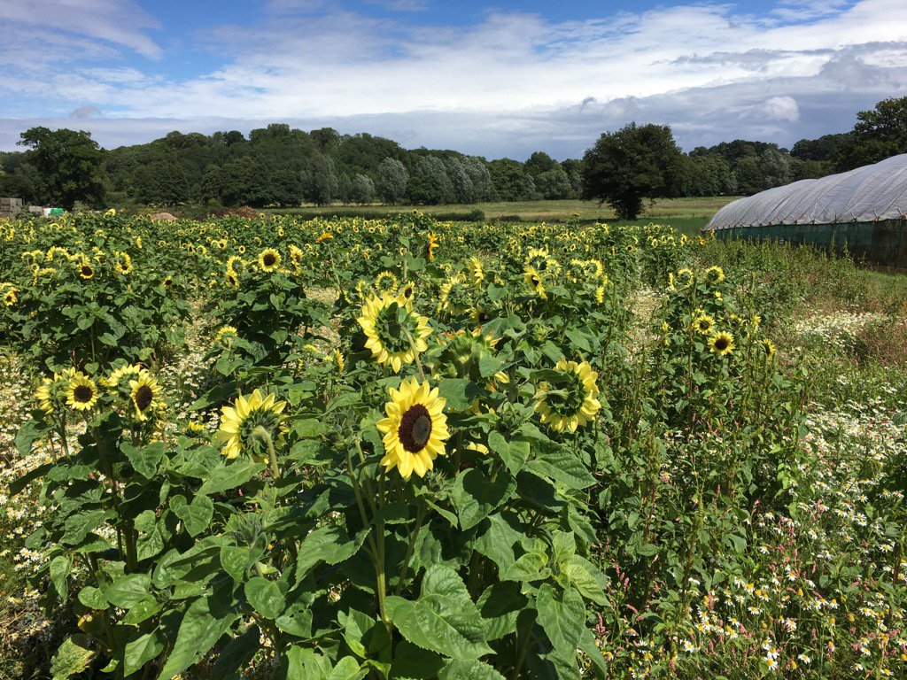 Turning into another beautiful day for picking our #Sunflowers #shoplocal<br>http://pic.twitter.com/GWSZ7p1Oke