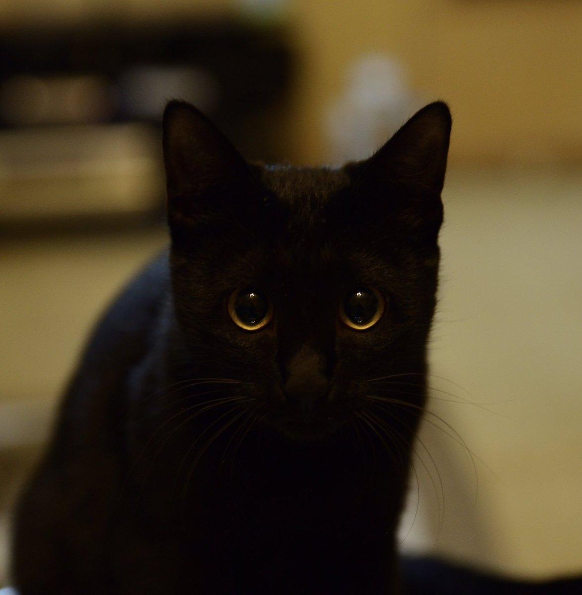 黒猫が不吉とかはヨーロッパのごく一部で日本は元から黒猫は縁起がいいし他ヨーロッパ全般でも福をもたらす言い伝え多いんだけどなあ。あとめちゃあまえんぼ。 pic.twitter.com/K5cqq3uHRm