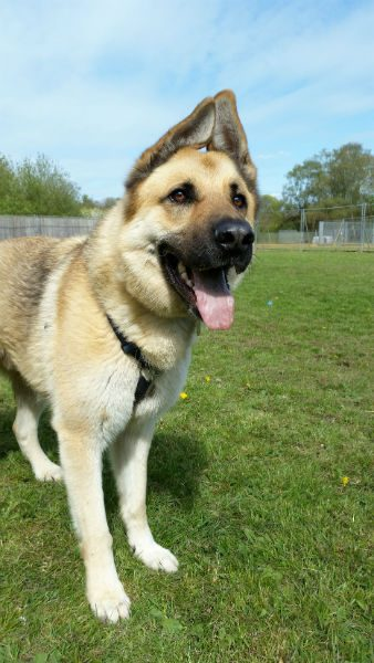 5yr old Jax is with #Bath Cats and #dogs home and needs a new home #GermanShepherd  #Somerset   http:// gsrelite.co.uk/jaxs/  &nbsp;  <br>http://pic.twitter.com/x6A6kDk14f