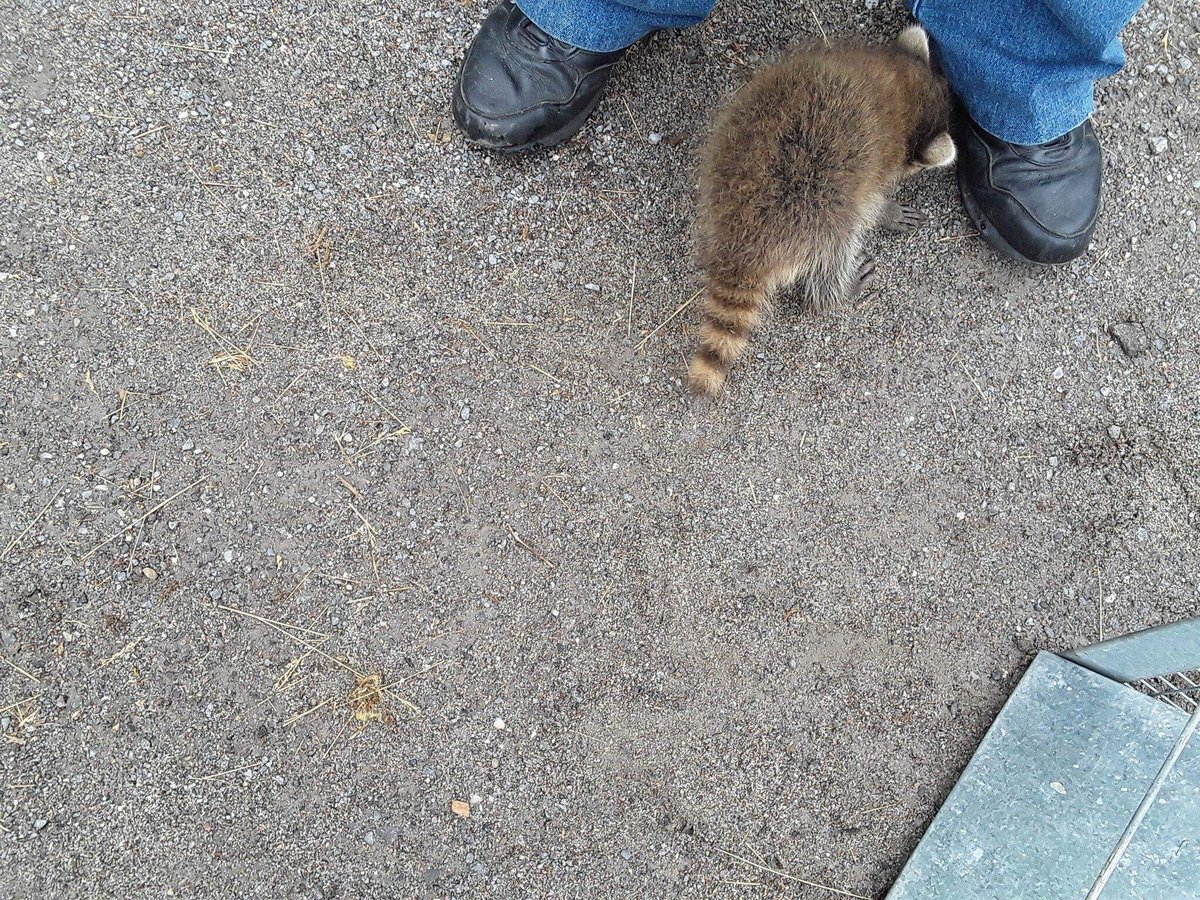 test Twitter Media - Andy Durant discovered even raccoons love our shoes! #GradyPhotoContest #Ptbo https://t.co/RLMcyLokdt