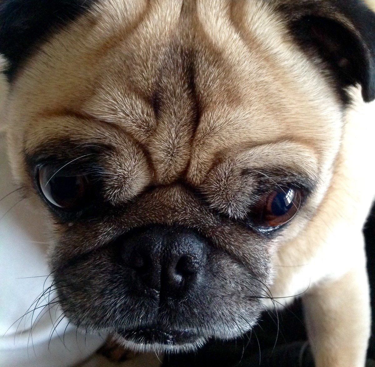 #lovethisface Alfie when he&#39;s not #cosplaying #cute #pugs #puglife <br>http://pic.twitter.com/VEudSiWUAc