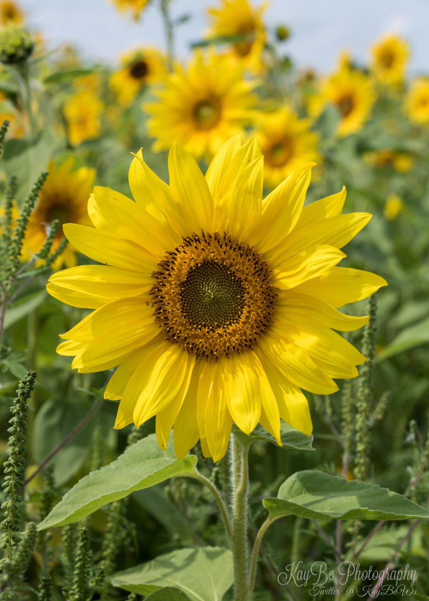 Some more cheery #sunflowers to brighten our day <br>http://pic.twitter.com/6fn1HDcyGm