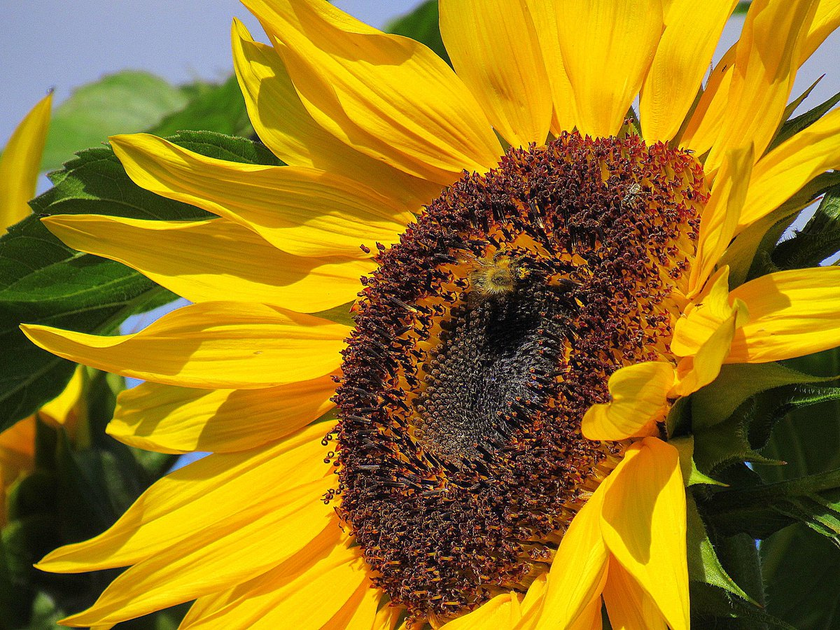 Turn your face toward the sun &amp; the shadows will fall behind you #sunflower @LymWild @taffithedragan @youngonesfive @cybersphynx @muddy_cat<br>http://pic.twitter.com/Gf6ymYTYL6