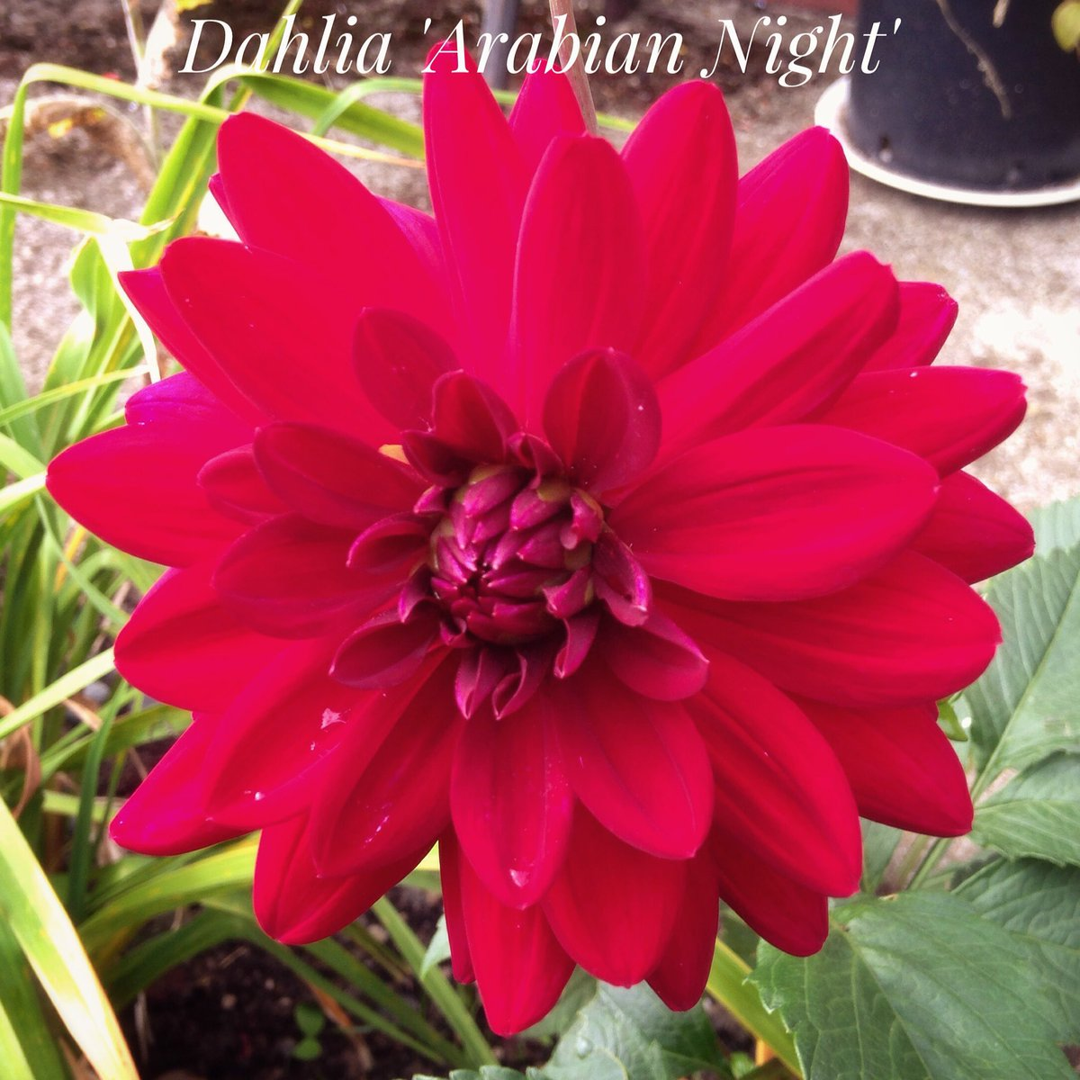 The smooth and silky looking Dahlia &#39;Arabian Night&#39; has graced us with its presence #fáilte #welcome <br>http://pic.twitter.com/8iqslnvYQy