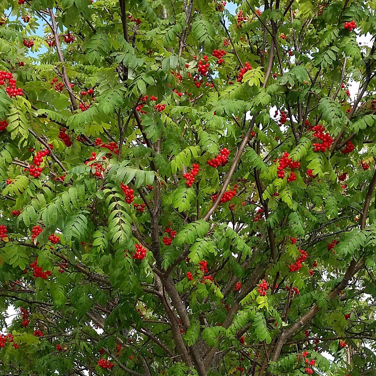 Lots of #berries on this #RowanTree. Does this mean we&#39;re in for a harsh #winter?? <br>http://pic.twitter.com/VsnaGxaKs0