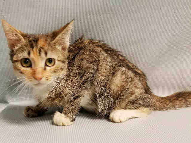 #URGENT #NYC #CATS precious torbie #kitten NEBULA needs our help by 8/18 @ NOON!  Please RT/adopt/foster/pledge!  http:// nyccats.urgentpodr.org/nebula-a112212 0/ &nbsp; … <br>http://pic.twitter.com/D1H547NyaO