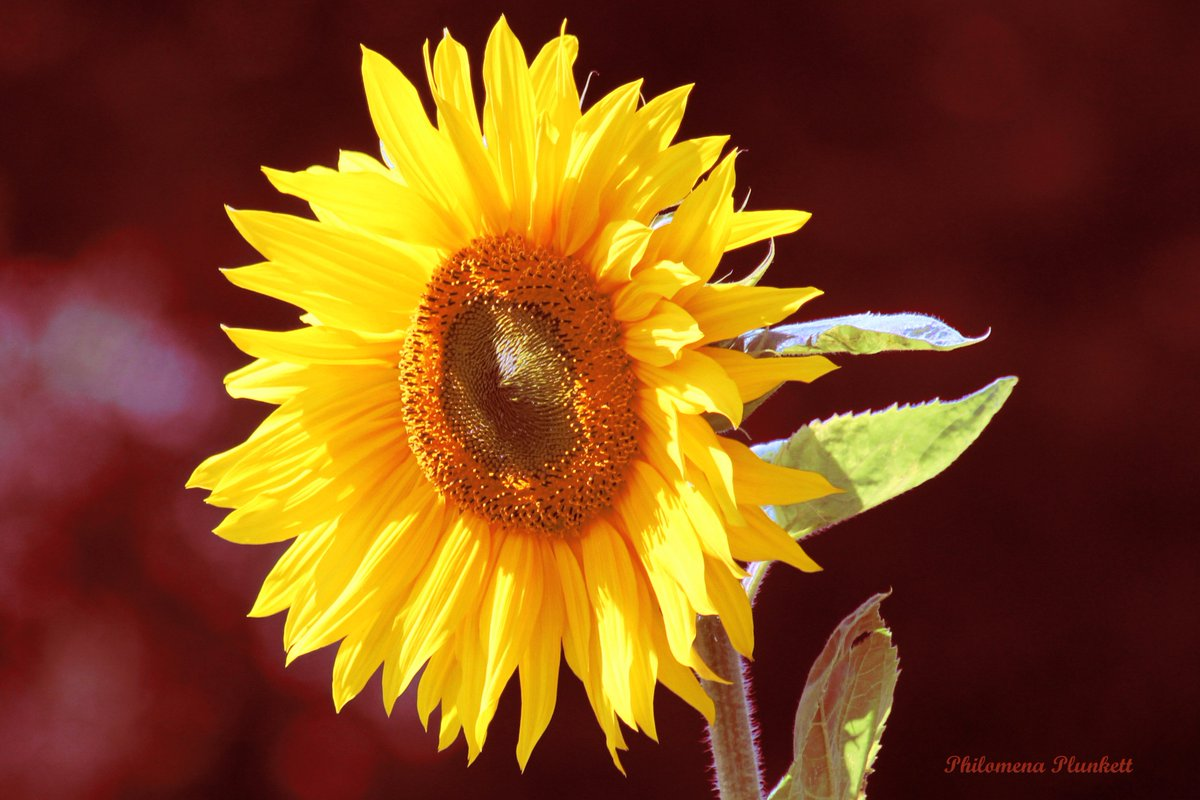 #sunflower basking in the #sunshine They sit in a field where no one can see them so I know I am #privileged #peace to all Good Night<br>http://pic.twitter.com/OgvUMyTy9y