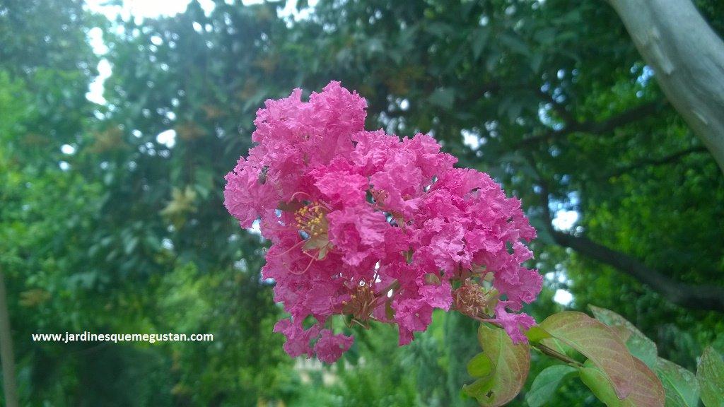 ADELFA YELLOW: Cascabela thevetia | Plants rioMoros