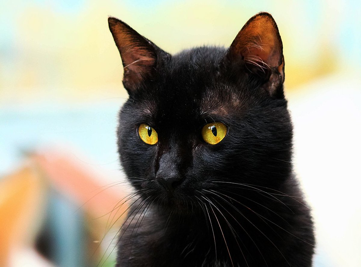 Make a black cat lucky by adopting them & giving them a loving hom...