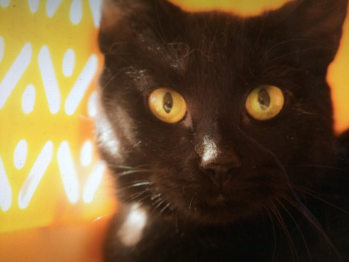 It&#39;s #NationalBlackCatAppreciationDay! Pamela needs a great #Brooklyn home… Adopt her today!  <br>http://pic.twitter.com/tbFaWP4NEL