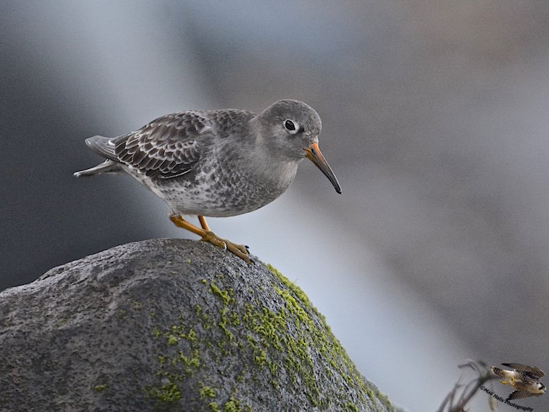 #Purple #Sandpiper...#Good #morning #Tweeps I hope your #friday is #fun and your #weekend is #wonderful. We&#39;re off to #Denmark this #morning<br>http://pic.twitter.com/sATeVsriRN