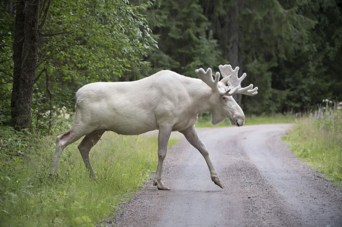 So what du U think... #Trump made an important tweet today... or there is a white #moose in #Sweden  There is actually a Moose... <br>http://pic.twitter.com/pO5KNKEaC5