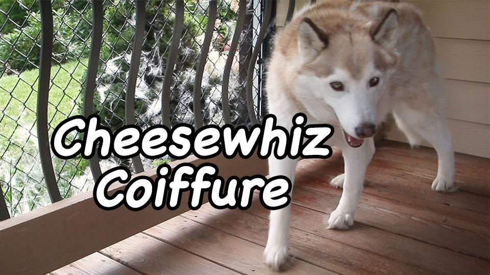 For Cheesewhiz and all of her furriness, maintain her #coiffure is serious business.  https:// thethunderingherd.com/2017/08/18/che esewhiz-coiffure-film-friday/ &nbsp; …  #dogs #siberianhusky #husky<br>http://pic.twitter.com/aP1U7OdKw8