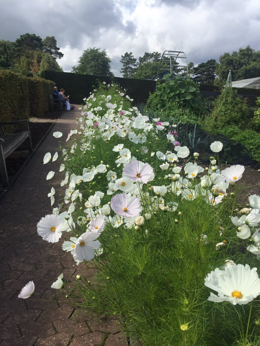 Cosmos Cupcakes Added Grow Lotty