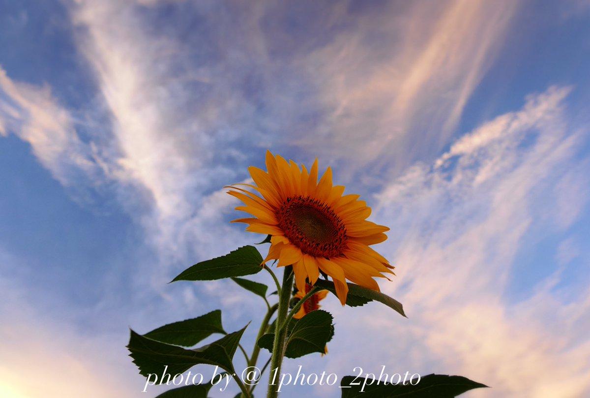 sunflower  #寫眞倶楽部 #ふぉと  #ファインダー越しの私の世界  #ひまわり #sunflower  #写真好きな人とつながりたい<br>http://pic.twitter.com/O1XE0TrA38