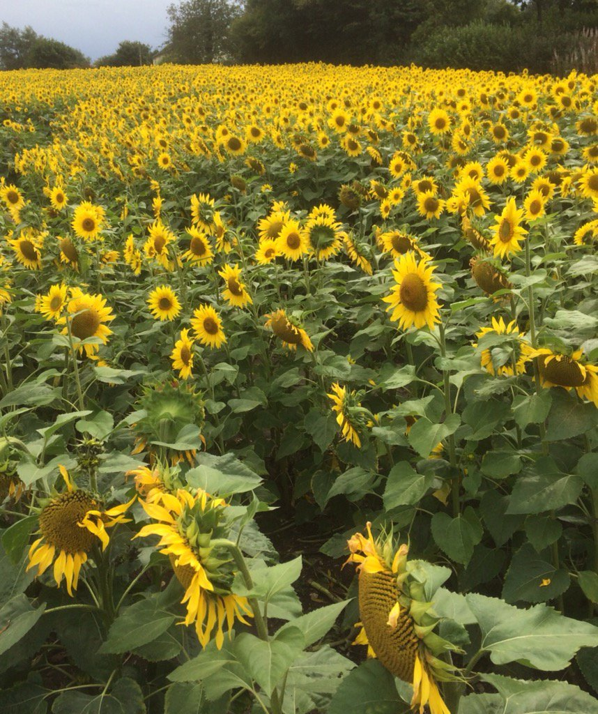 @VisitChilterns amazing what you can find in the Chilterns #Sunflowers #countryside #specialplaces<br>http://pic.twitter.com/EvycjpjbUu