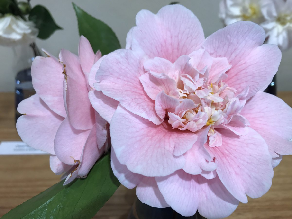 Jimmy Turner On Twitter Camellia Time Bluemtnsbg Lots Of