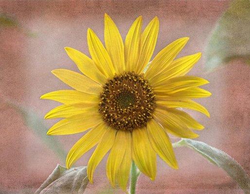 For Sale Artwork &quot; https:// pixels.com/featured/sunfl ower-warmth-sandi-oreilly.html &nbsp; …  Sunflower close up #sunflower #flower #digitalart<br>http://pic.twitter.com/dOhb75m6S1