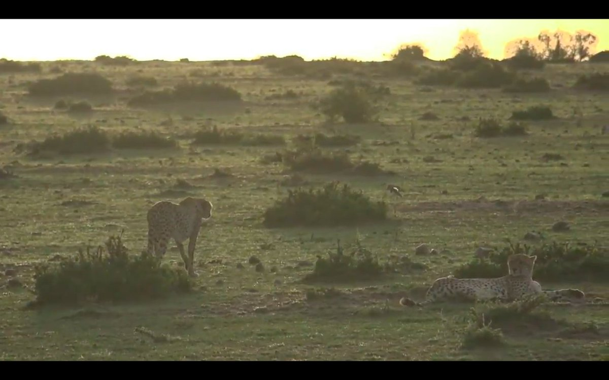 Two #cheetah #brothers in the morning light on #safarilive<br>http://pic.twitter.com/lALg9WZW36