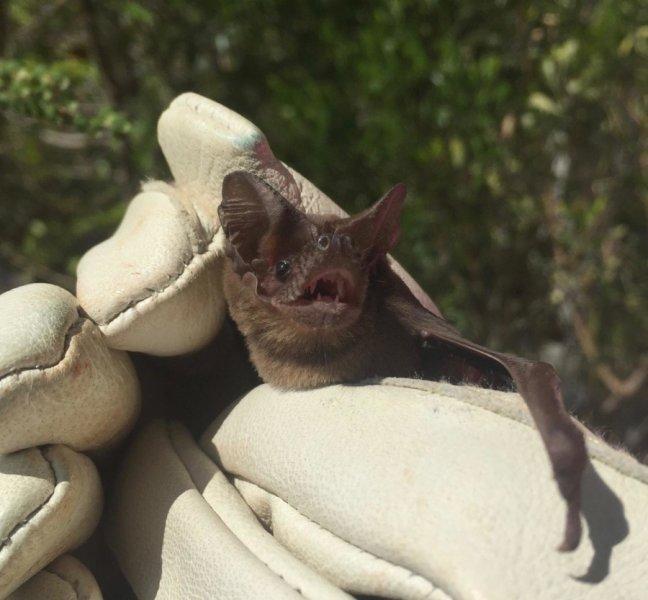 Ocean channel in Bahamas marks genetic divide in Brazilian free-tailed bats https://t.co/j51Uul03hK https://t.co/4Rh4m67xgC