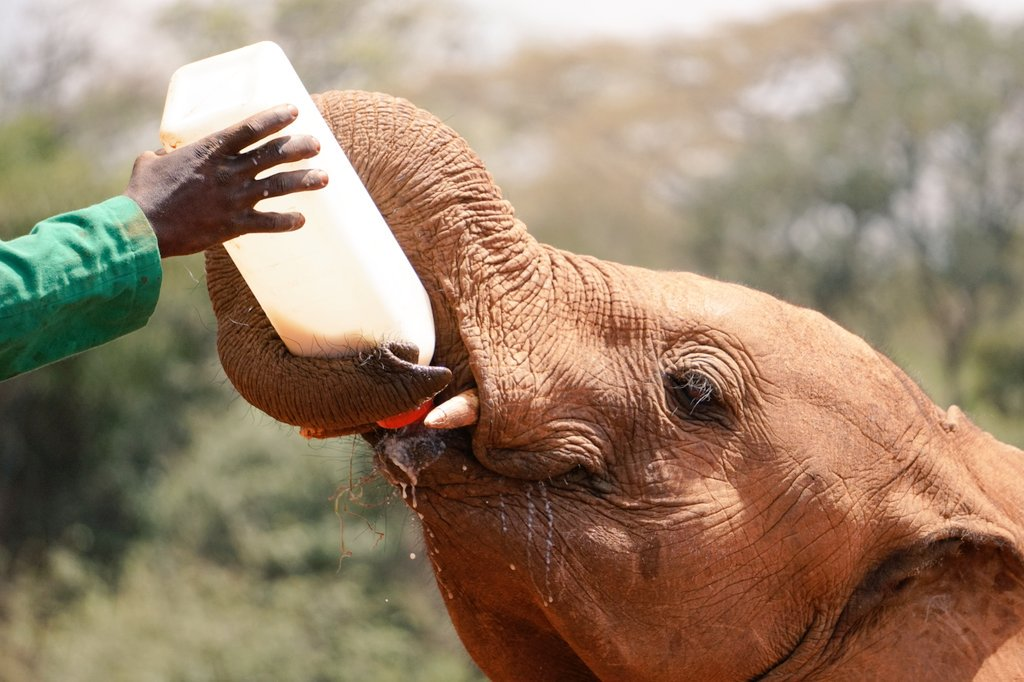 Just because I can&#39;t get enough of this, here&#39;s a one year old #African elephant drinking milk from a bottle at @DSWT in #Nairobi. #Kenya  <br>http://pic.twitter.com/gOvQQwBHOI