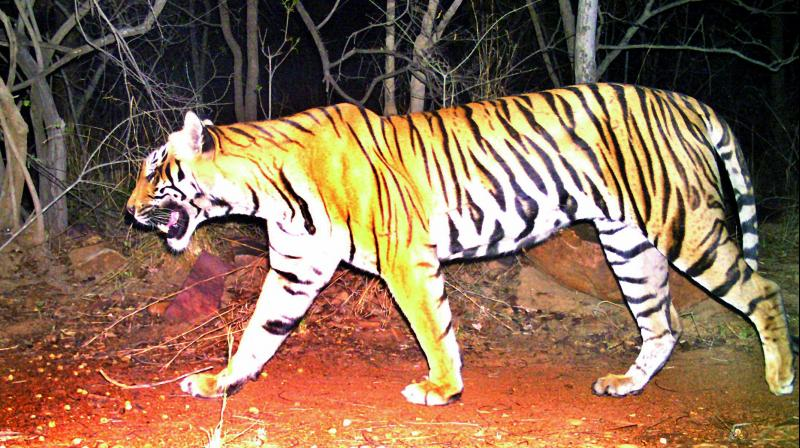 #India - Andhra Pradesh government developing #tiger corridor in Nagarjuna Sagar-Srisailam Tiger Reserve  http://www. deccanchronicle.com/nation/current -affairs/190817/ap-government-developing-tiger-corridor-in-nsstr.html &nbsp; … <br>http://pic.twitter.com/fyNkuKHjpJ