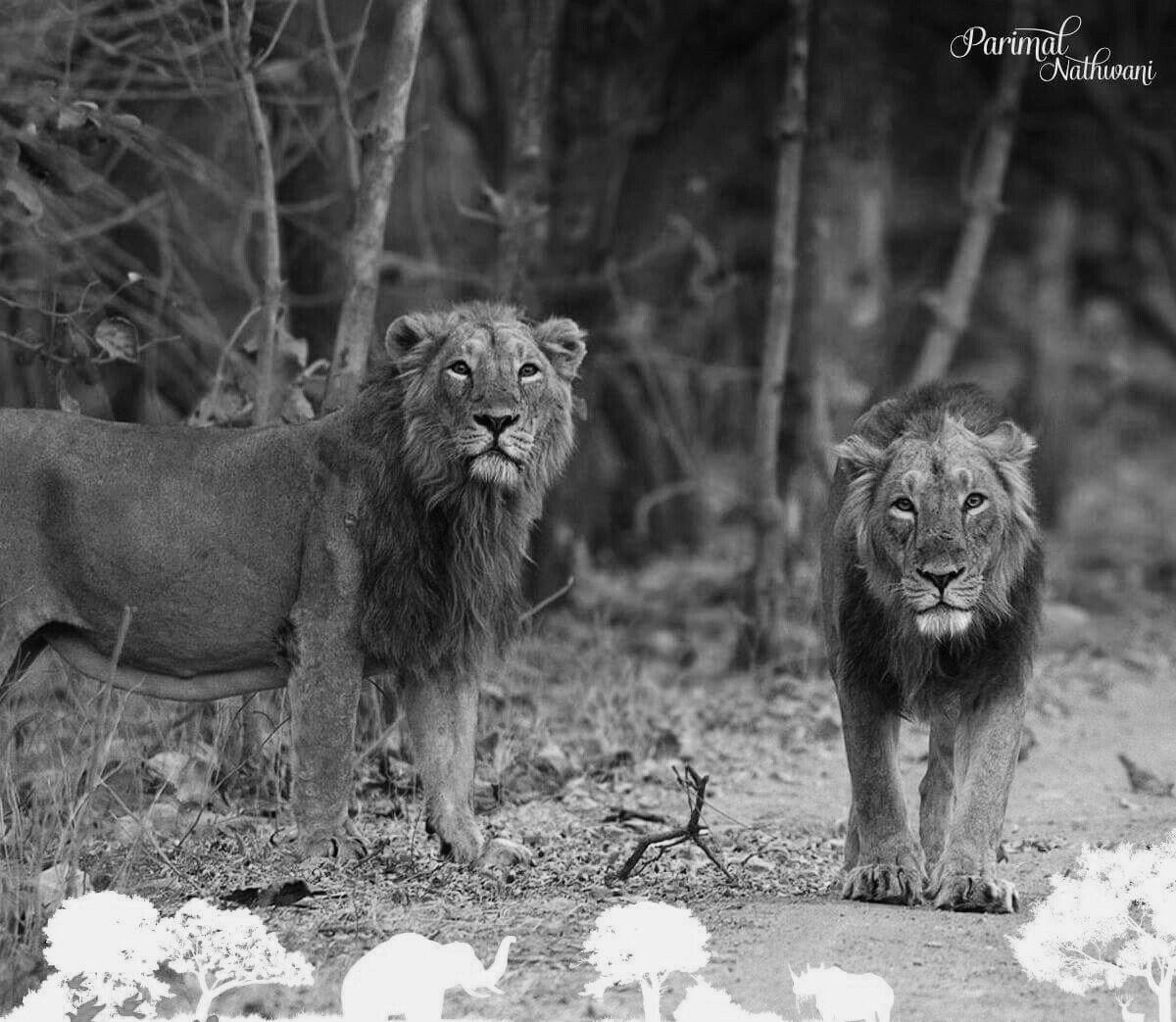 #LionSafari in foothill forests of #MountGirnar #Junagadh! 33 Lions &a...