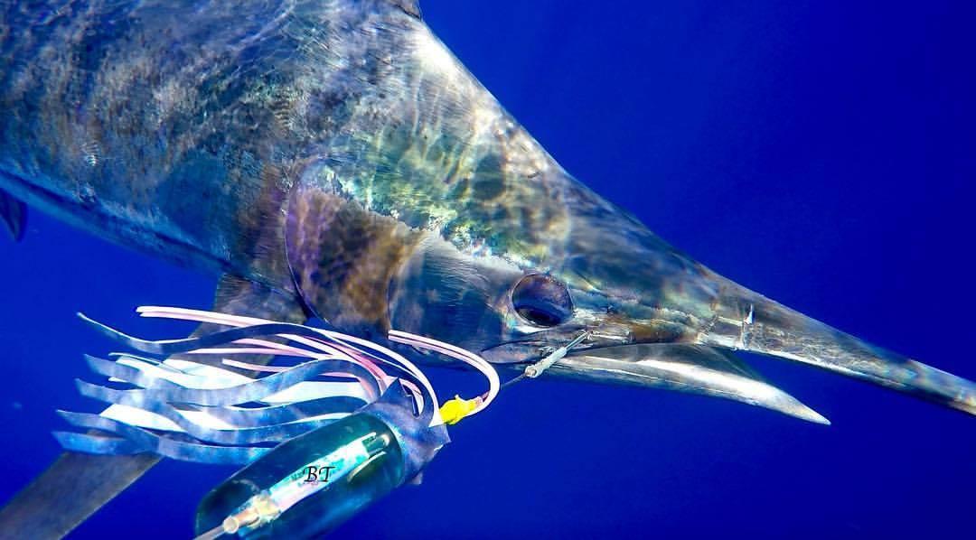 Kona, HI - Capt. BT on Melee released 2 Blue Marlin.