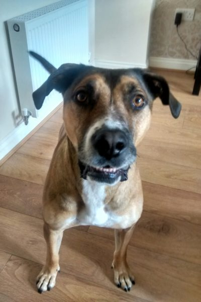 #WestYorkshire @yorkrosedog Zee is a 6 year old neutered Boxer x who is looking for a forever home because his ...  http:// rescuedogs.org.uk/dog-rescues/yo rkshire-humberside/yorkshire-rose-dog-rescue/zee-boxer-cross &nbsp; … <br>http://pic.twitter.com/Zk4y9833VK