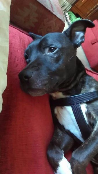 #WestYorkshire @yorkrosedog Poor old Ru came to YRDR in a very sorry state. Despite this he is a truly lovely ...  http:// rescuedogs.org.uk/dog-rescues/yo rkshire-humberside/west-yorkshire-dog-rescue/ru-staffie &nbsp; … <br>http://pic.twitter.com/IbLDzOdb3f