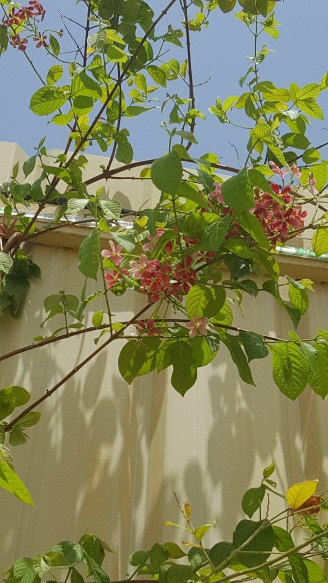 سليمان السهلي On Twitter الياسمين الأحمر نبات متسلق يتحمل الحر لون أزهاره العطرية أحمر ووردي وأبيض يمكن تركه يتسلق العمارة أو ينفرش على مظلة أو يقل م كسياج Https T Co Qrlnb9ayn4