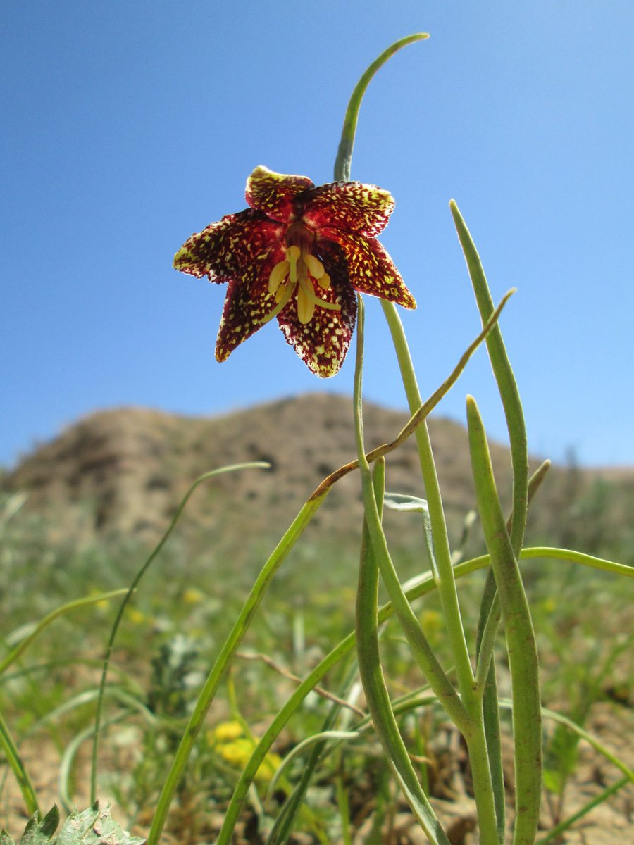 Badlands Natl Park On Twitter The Leopard Lily Fritillaria