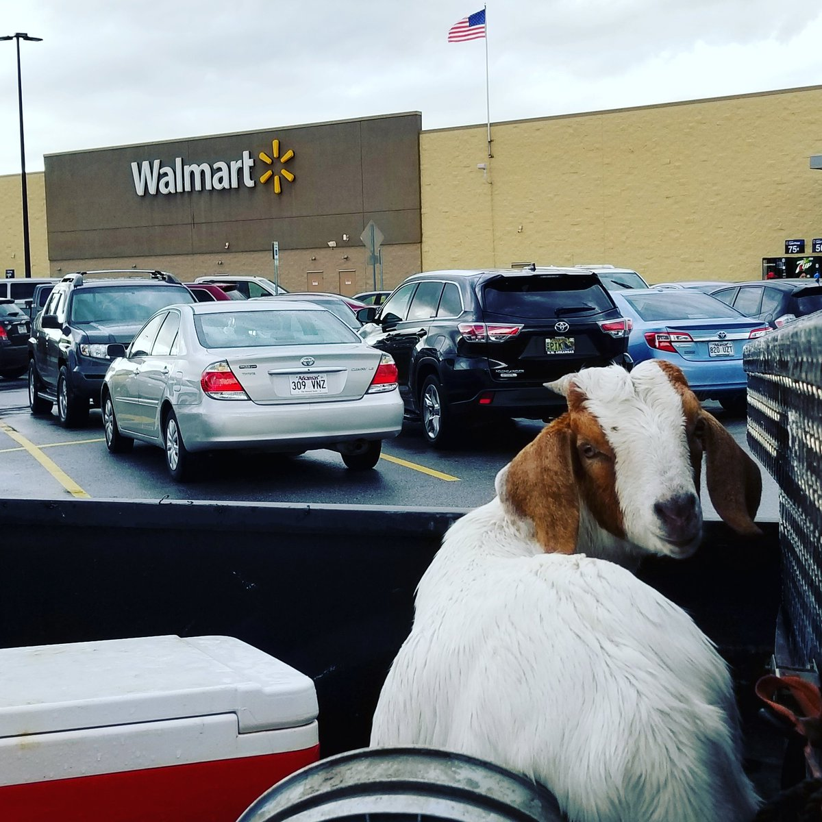 Is there anything more American than a goat,  in the back of a truck, in a #Walmart parking lot?! Happy Saturday America!!!! @johnrich<br>http://pic.twitter.com/l6HPKYLIpG