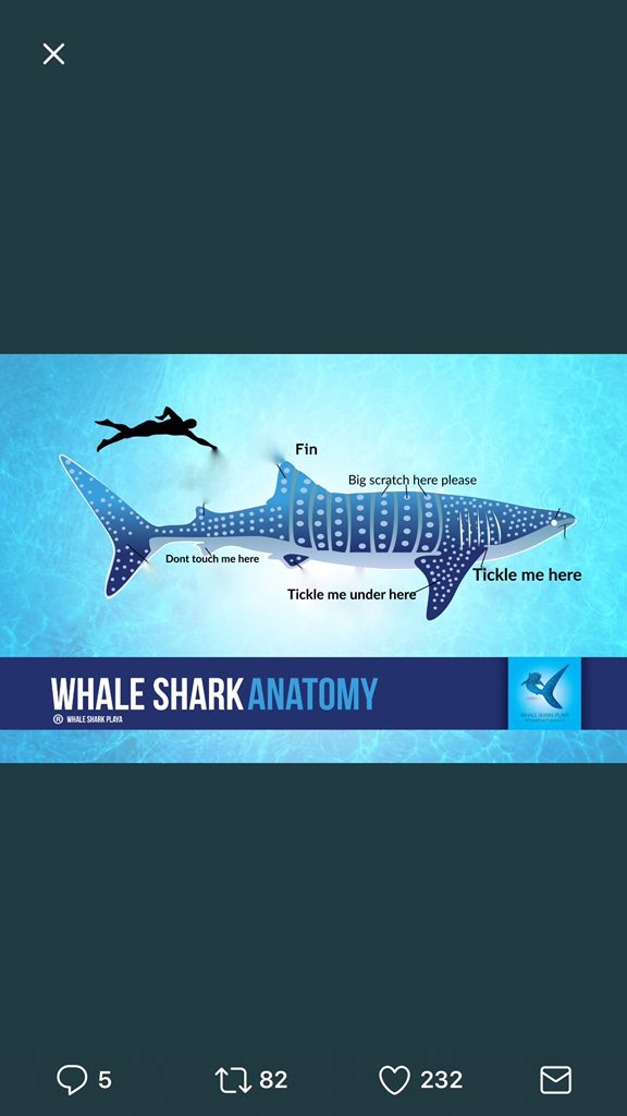 Helentheshark On Twitter Heres Whale Shark Anatomy In Case You